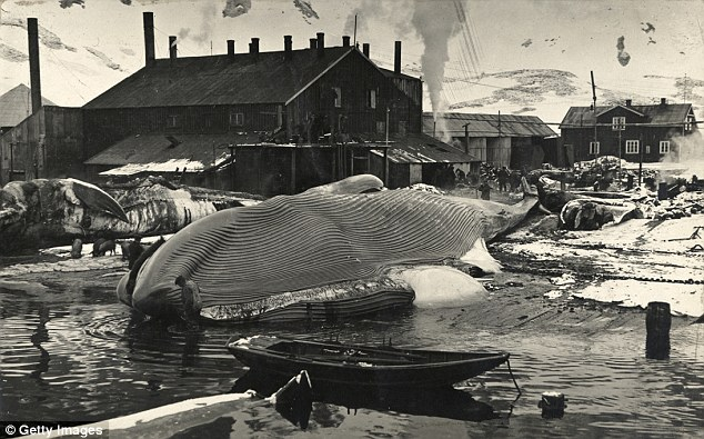 14 A blue whale lies on the flensing platform at the Grytviken whaling station on the British island of South Georgia near Antarctica, 1917